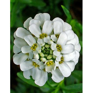 Candy Tuft White Flower Hybrid Exotic Seeds  For Home Garden