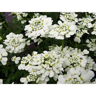 Seeds Candy Tuft Beautiful White Flower Refined Seeds