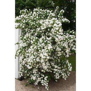 Candy Tuft Beautiful White Flower Premium Flowers Seeds