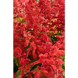 Seeds Salvia Flower Quality Flowers Seeds
