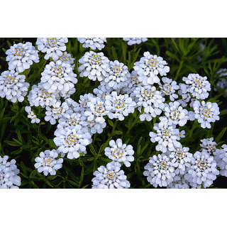 Seeds Candy Tuft Beautiful White Flower All Need Seeds  For Home Garden