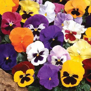 Pansy Flower Multi-Colour Seeds for Home Garden