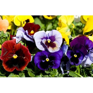 Pansy Flower Seeds for Home Garden