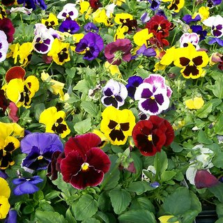 Seeds Pansy Flower Multi-Colour Seeds for Home Garden