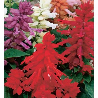 Beautifull Red Salvia Flower 10x Quality Seeds For Home Garden