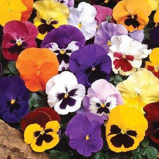 Pansy Flower Multi-Colour Premium Seeds for Home Garden