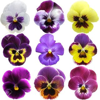 Seeds Pansy Flower Mixed Colour Super Advanced Seeds