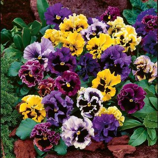 Pansy Flower Mixed Colour 10x Quality Seeds For Home Garden