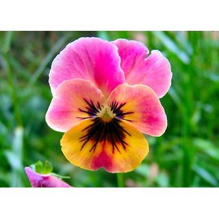 Seeds Pansy Flower Mixed Colour Advance Seeds
