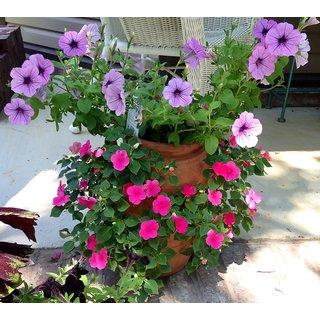Petunia Flower Multi-Colour 3x Quality Seeds For Home Garden