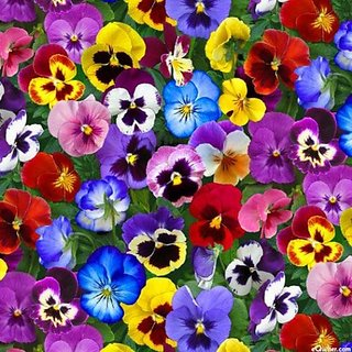 Seeds Pansy Flower Mixed Colour Indian Seeds For Home Garden