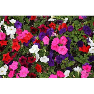Petunia Flower Multi-Colour Super Seeds