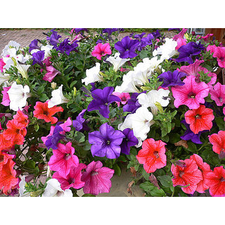Petunia Flower Mixed Colour Supers Seeds For Home Garden