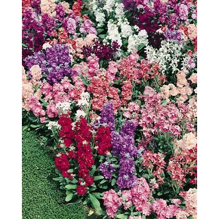 Stock Flkower Multi-Colour Premium Flowers Seeds
