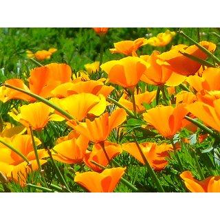 Poppy California Flower Premium Seeds for Home Garden