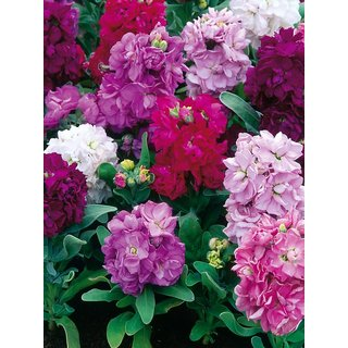 Seeds Stock Flkower Mixed Colour Mixed x Quality Seeds For Home Garden