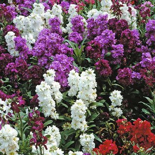 Seeds Stock Flkower Mixed Colour Best Quality Seeds