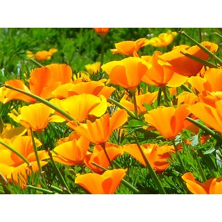 Beautiful Poppy California Flower Peremium Hybrid Seeds For Home Garden