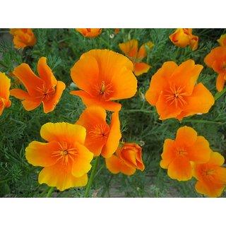Seeds Poppy California Flower Fine Quality Seeds
