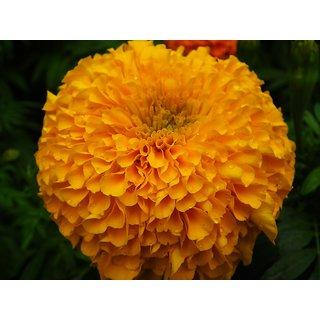 Seeds Marigold Flower Orange & Yellow Colour Super Seeds
