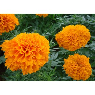 Marigold Flower Seeds  For Home Garden