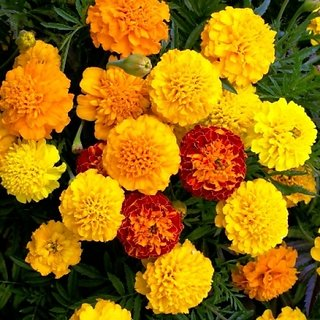 Buy Seeds Marigold Flower Orange Yellow Colour All Need Seeds For