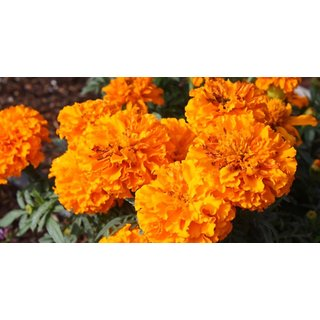 Seeds Marigold Flower Orange & Yellow Colour Better Germination Flowers Seeds