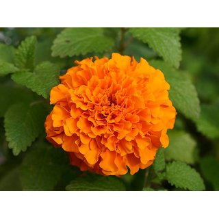 Orange Marigold Flower Premium Exotic Seeds
