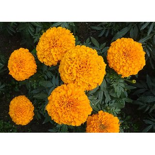 Seeds Marigold Dwarf Flower Orange & Yellow Colour Double Quality Seeds For Home Garden