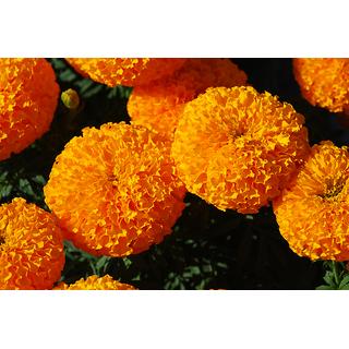 Seeds Orange Marigold Flower Quality Seeds