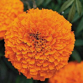 Marigold Dwarf Flower Orange & Yellow Colour Hybrid Seeds