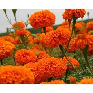 Orange Marigold Dwarf Flower Premium Seeds for Home Garden