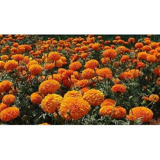 Orange Marigold Flower Peremium Hybrid Seeds For Home Garden