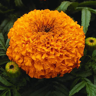 Seeds Marigold Dwarf Flower Orange & Yellow Colour 3x Quality Seeds For Home Garden