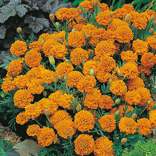 Seeds Marigold Dwarf Flower Quality Flowers Seeds
