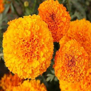 Seeds Orange Marigold Flower Premium Exotic Seeds