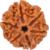 6 mukhi/6 face rudrkahsha 100 best quality(6 mukhi) nepal rudraksha by lab certifie