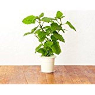Natures Buggy Lemon Balm Live Plant