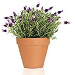 Natures Buggy Lavender Live Plant