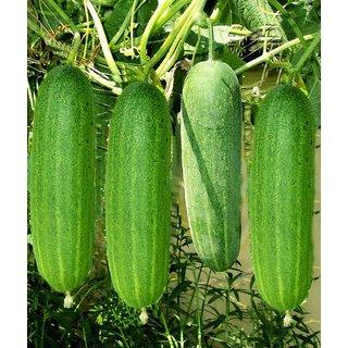 Best Quality Cucumber Seeds (10gm)