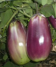 Best Quality Brinjal Seeds (10gm)