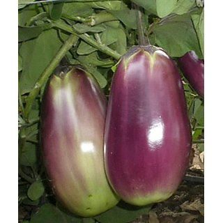 Best Quality Brinjal Seeds (10gm)