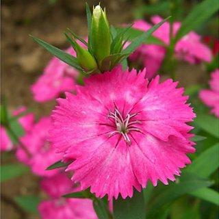 Pink Dianthus Flower Super Advanced Seeds