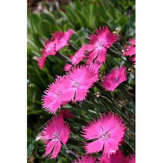 Dianthus Pink Flower Hybrid Exotic Seeds  For Home Garden