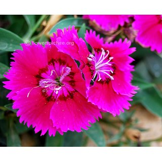 Seeds Dianthus Flower Pink Plus Quality Seeds For Home Garden