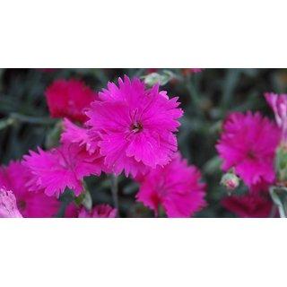 R-DRoz Dianthus Pink Flower Fast Germination Seeds