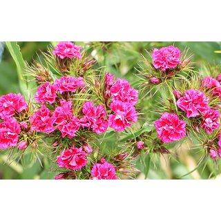 R-DRoz Dianthus Pink Flower Seeds
