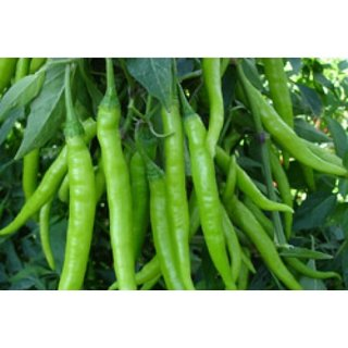 R-DRoz Green Chilli Best Quality Seeds
