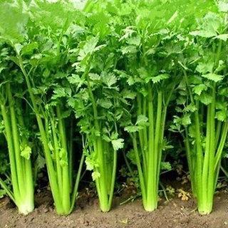 Coriander (Dhaniya) Plus Quality Seeds For Kitchen Garden