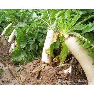 Radish White Quality Vegetables Seeds